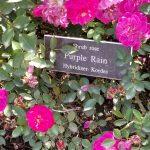 hybrid rose brands