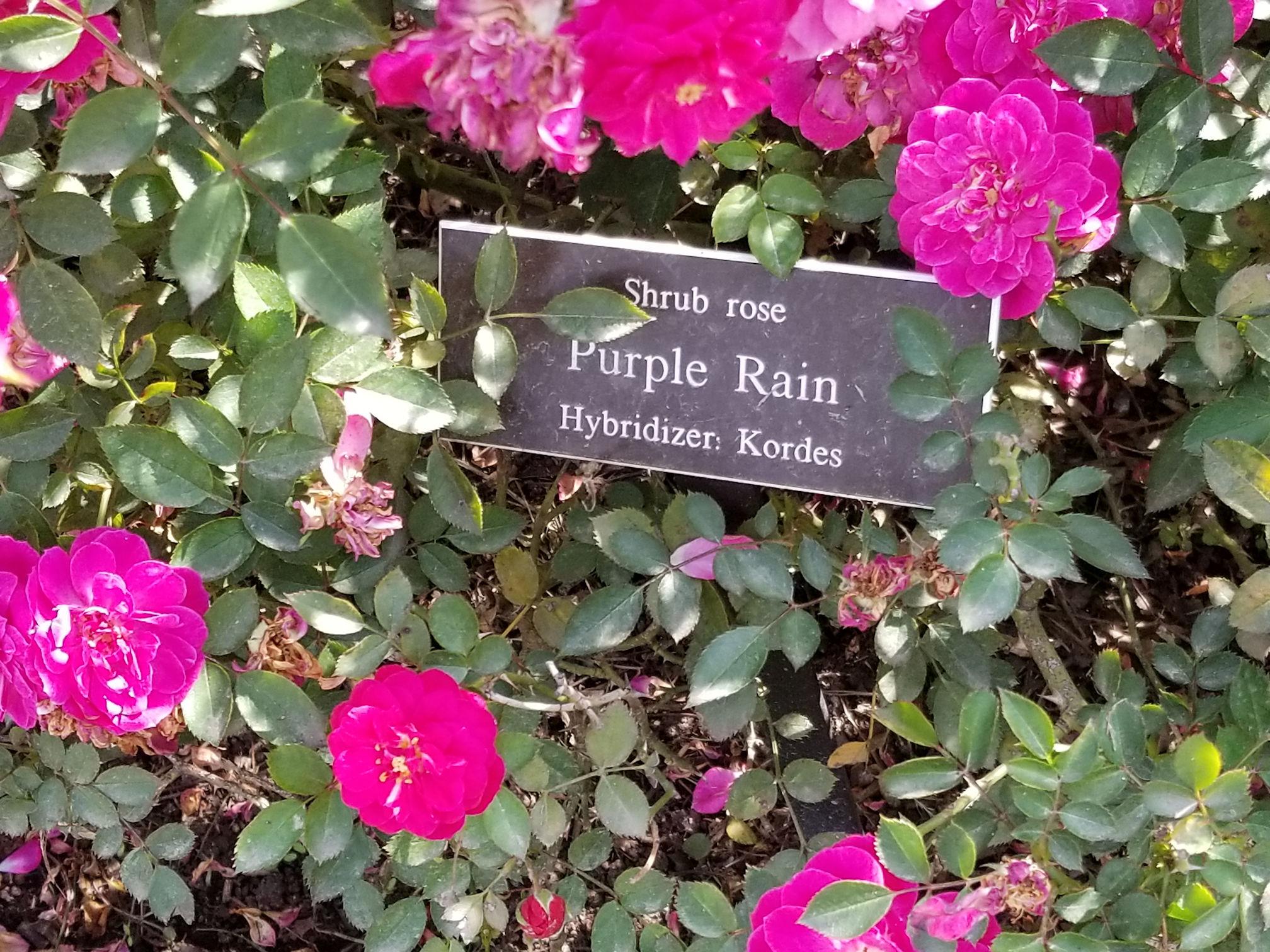 роза шраб Cиреневый дождь (фото и описание)